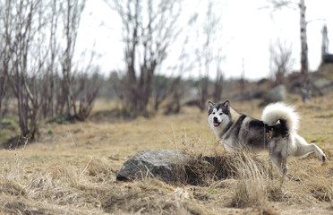 Beautiful husky playing outside