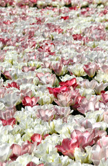 Field of white tulips