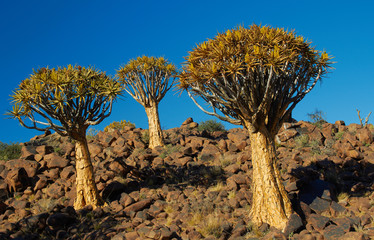 Three Qiver Trees, Karas, Namibia