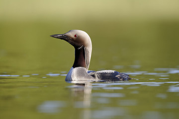 Black-throated diver, Gavia arctica