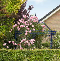 Pink roses growing over gazebo, arbour or bower