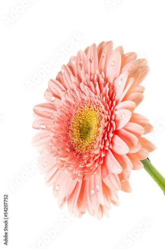 Spoed canvasdoek 2cm dik Gerbera pink gerbera