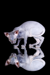 Sphinx cat on black background