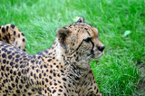 Beautiful cheetah on a green grass