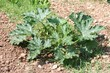 pianta di zucchina nell'orto