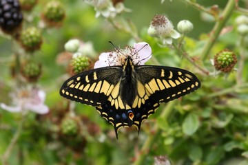 Oregon Swallowtail Butterfly (Papilio oregonius)