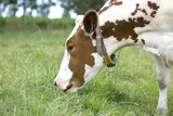 Brown-white spotted cow grazing juicy green grass