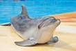 dolphin - 54217127
