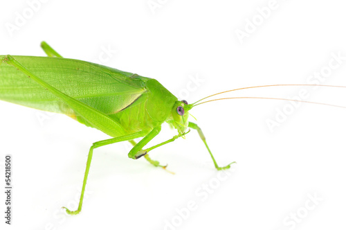 long horned grasshopper