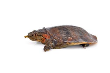 soft-shell turtles
