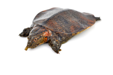 soft-shell turtles