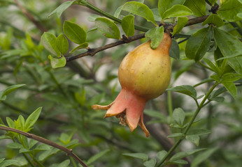 Baby Pomegranate in Plant
