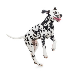 jumping Dalmatian dog isolated on white