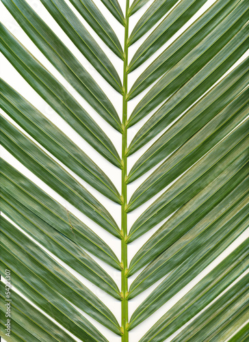 Chrysalidocarpus background