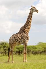 Mature Giraffe