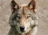portrait de loup