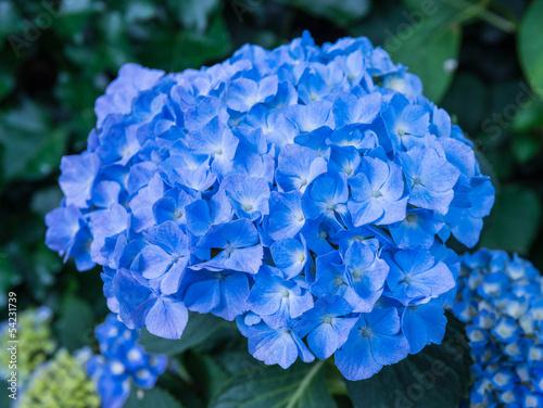 Foto op Plexiglas Hydrangea Flower head of a blue blooming Hydrangea