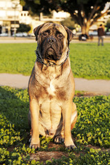 Bullmastiff Portrait in Urban Park