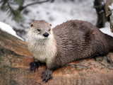 Canadian river otter.