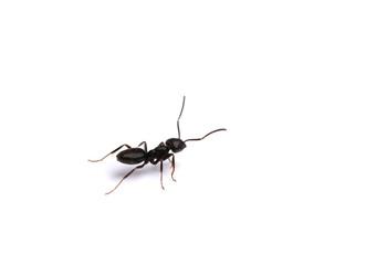 Black ant, isolated on white