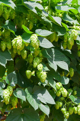 Fresh crop of hops growing on hops plant.