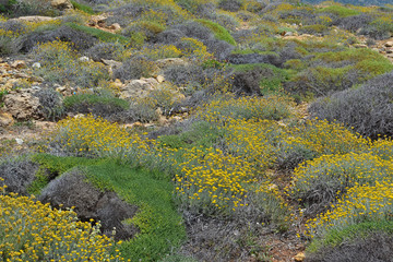 Helichrysum stoechas in bloom in the mountains in Crete.