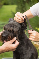 Cutting hair on the dog's ears
