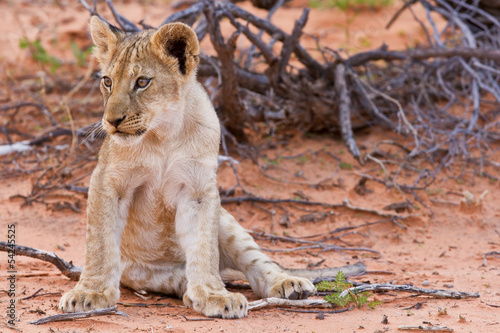 Lion cub sitting on the sand and looking