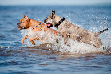 two dogs jump in the water
