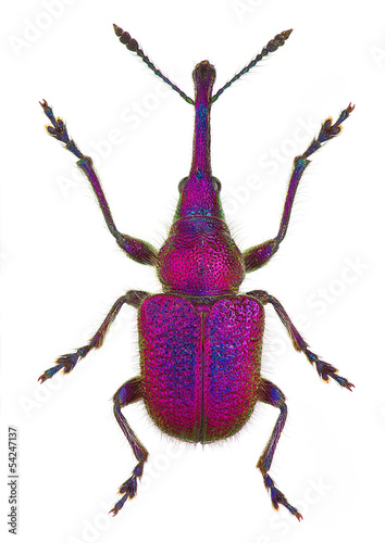 amazing leaf-rolling weevil (genus Rhynchites)