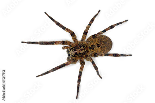 Spider Isolated on white (Female of  Zoropsis spinimana)