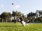Border Collie Fetching Ball at Park poster