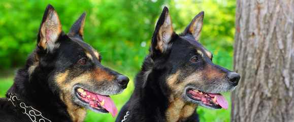 Two shepherd dogs