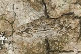 Mottled Beauty (Alcis repandata) Geometridae camouflaged