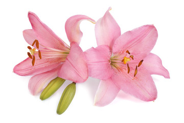 Two pink lily flower with a bud isolated on white background