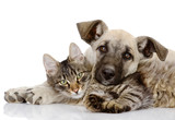 the dog and cat lie together. isolated on white background  - Fine Art prints