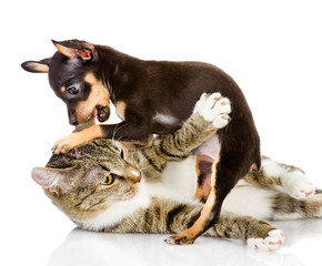 the cat fights with a dog. isolated on white background
