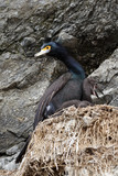 The Red-faced Cormorant and nestling sitting in a nest