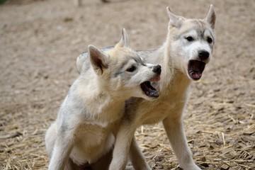 Zwei Husky-Welpen im spielerischen Streit