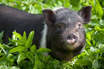 Young female pig