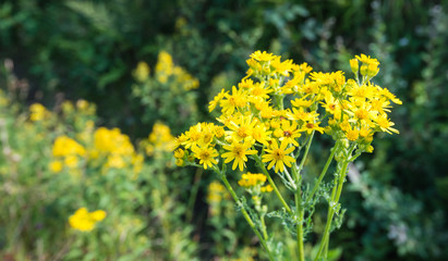 Blooming Ragwort