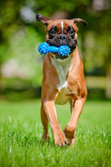 red german boxer dog runs with a toy in his mouth