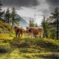 bovini al pascolo in alta montagna