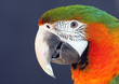 Closeup of Macaw parrot with bright orange and green feathers.
