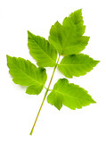 Maple Tree (cultivar) Leaves poster