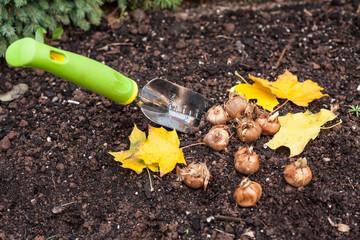 Planting Crocus