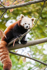 little red panda bear on a tree