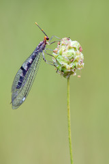an antlion