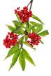 Trauben-Holunder - Roter Holunder (Sambucus racemosa)
