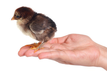 Newborn fluffy brown chicken on a palm isolated